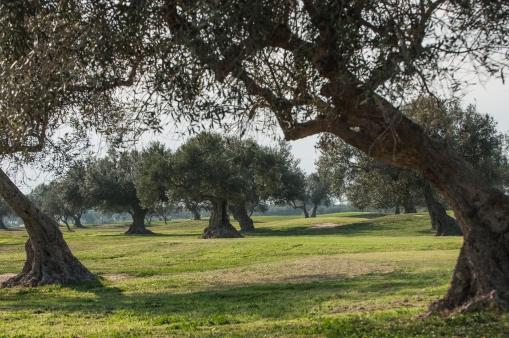 oliveraies